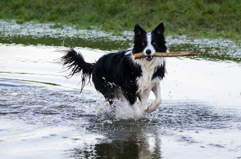 Border Collie fetching a stick