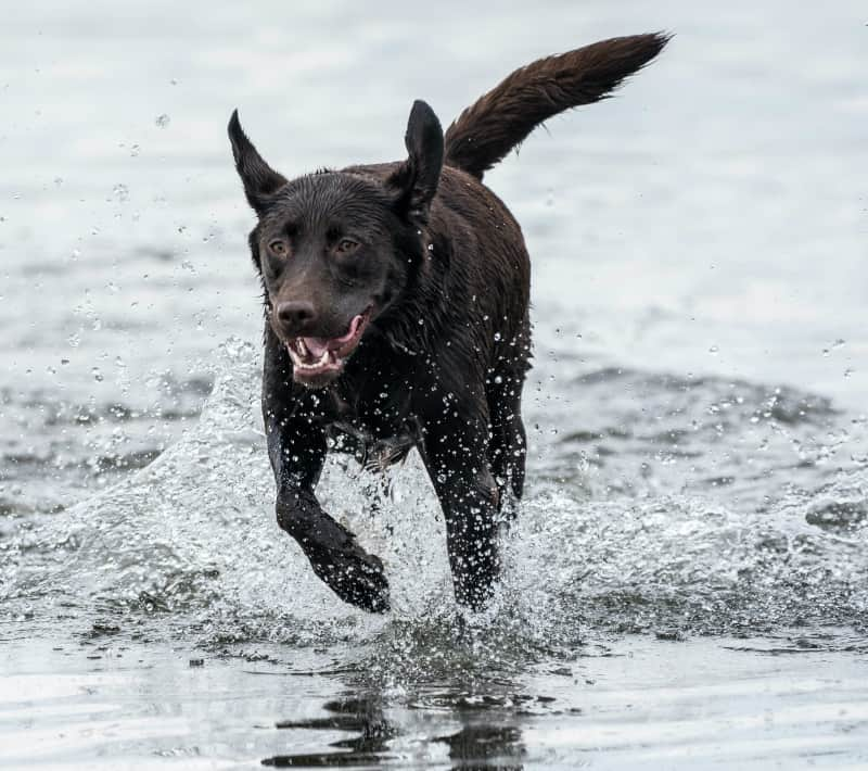 Chocolate Lab In Water
