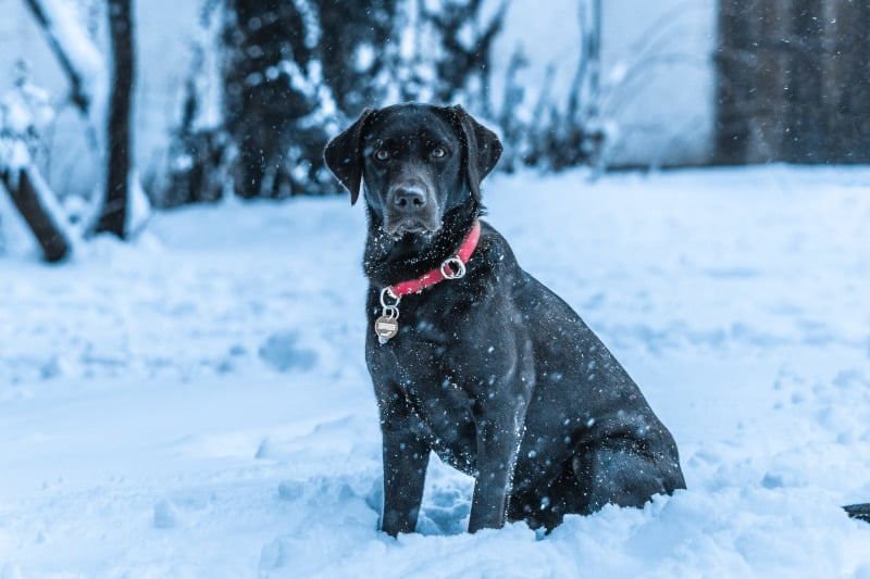 Do Labs Get Cold? - Puplore