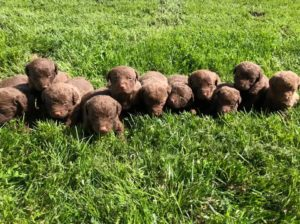 Our Family's Chesapeake Bay Retriever Litter - Puplore