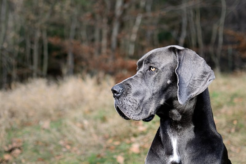 Great Dane is a strong but gentle giant