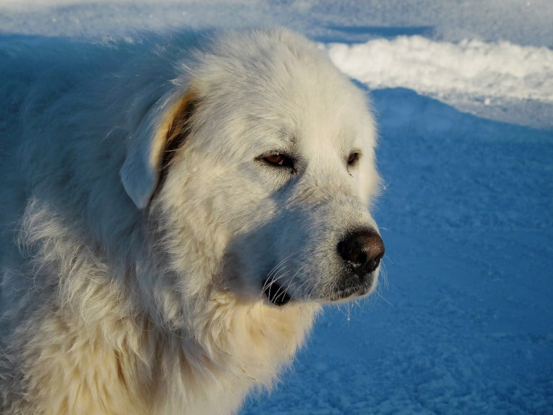 Top Strong Dog Breed Great Pyrenees