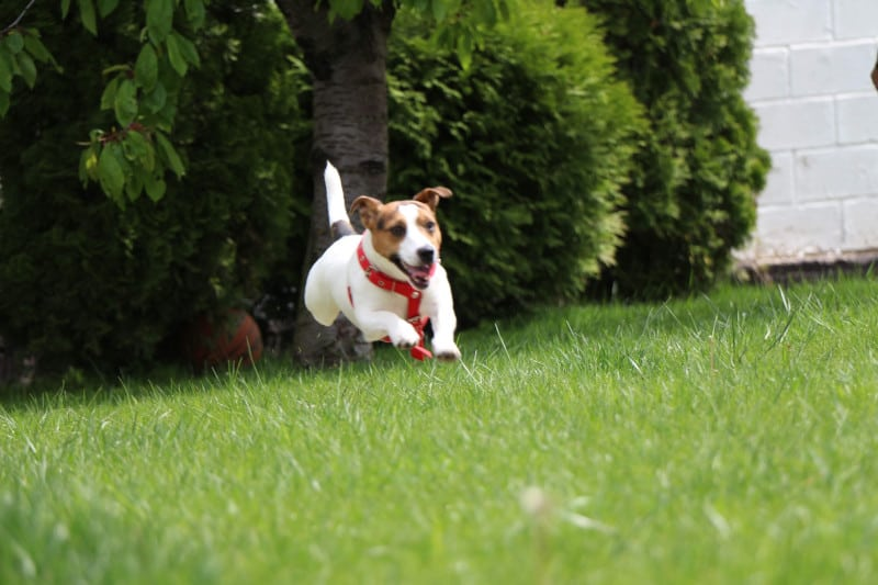 Jack Russells are the fastest small dogs