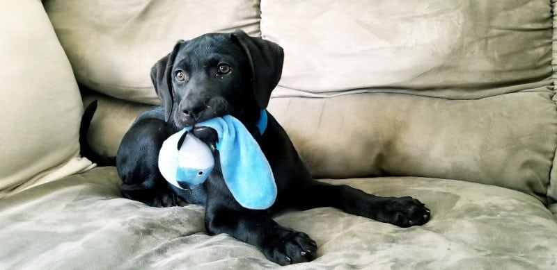 Lab puppy chewing on toy on couch