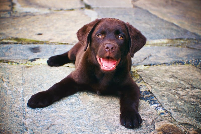 Labrador puppy laying on pavers