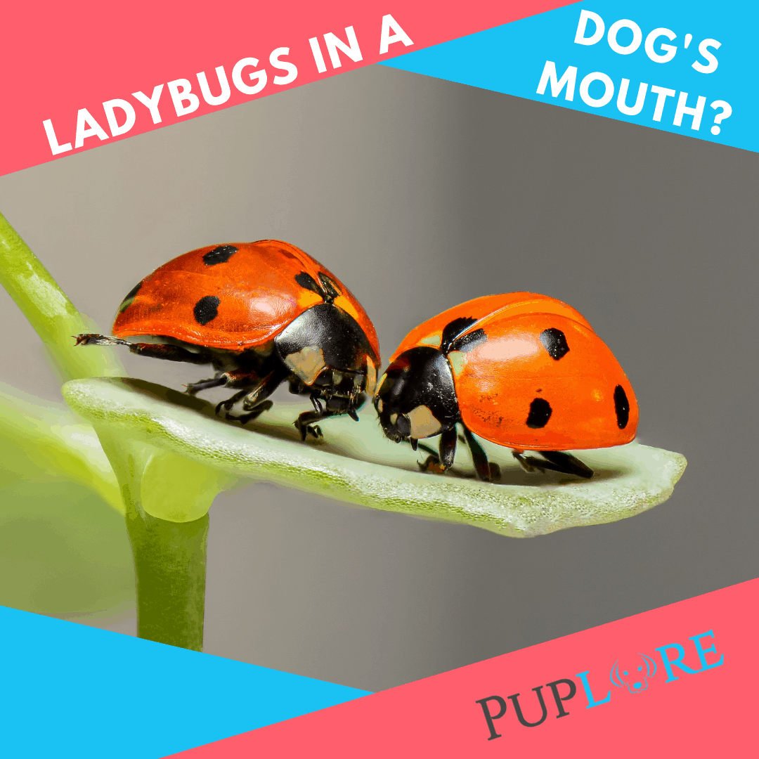 Ladybugs In Dogs Mouth - Puplore