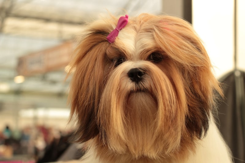 a cute but slow Lhasa Apso