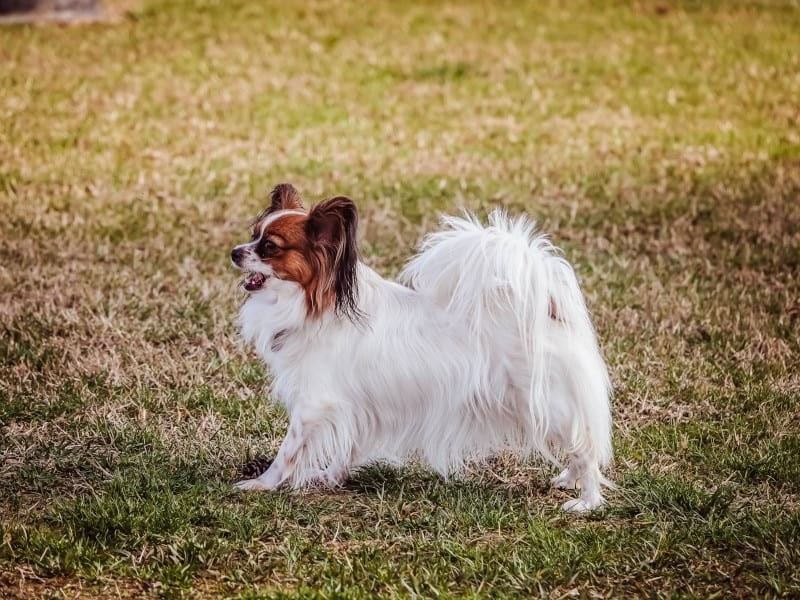 Small and Fast Papillon
