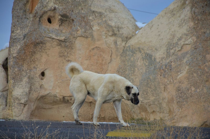 Kangal is the strongest breed of dog