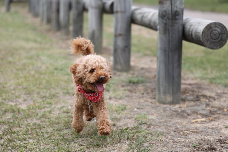 A slow Toy Poodle