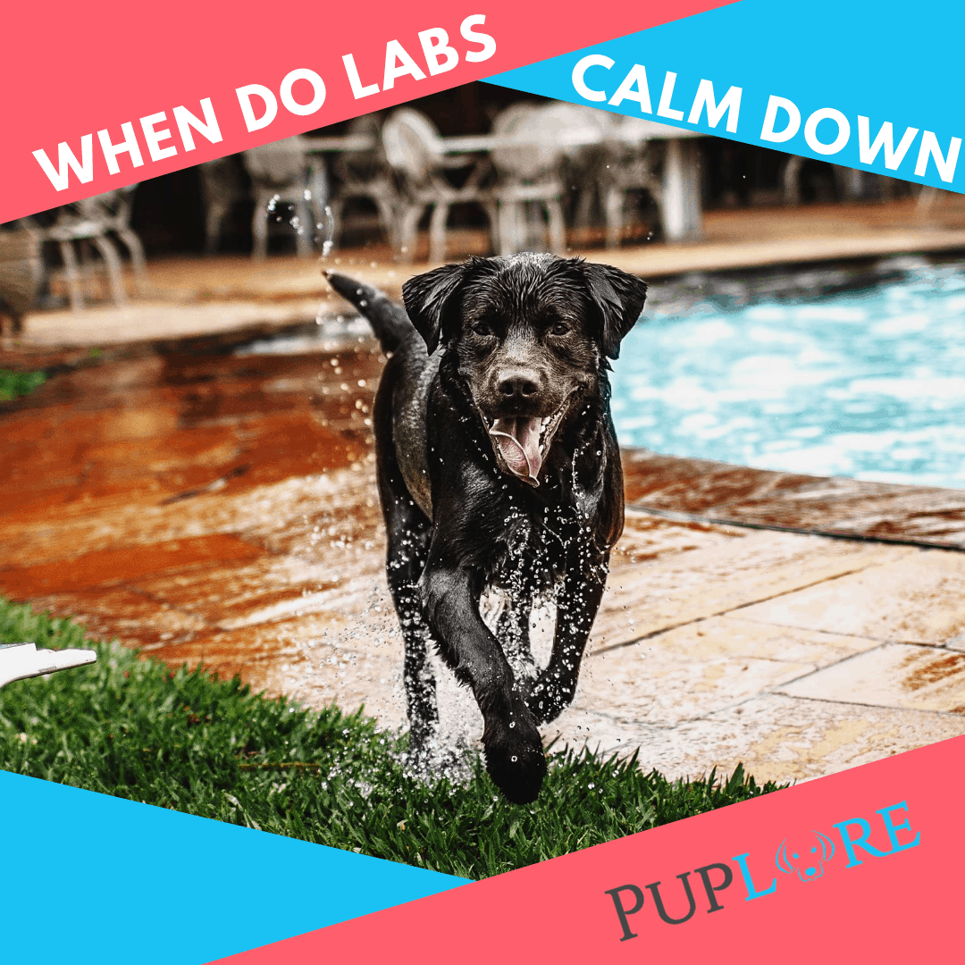 When Do Labradors Calm Down - Puplore