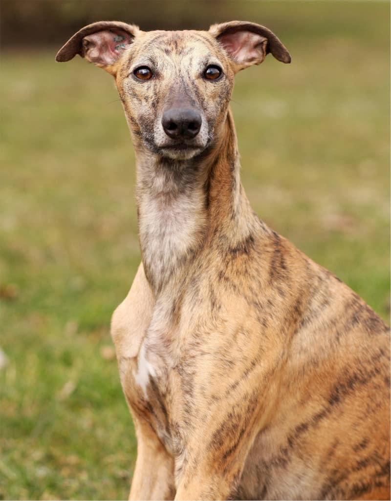 Whippet is the fastest medium dog breed